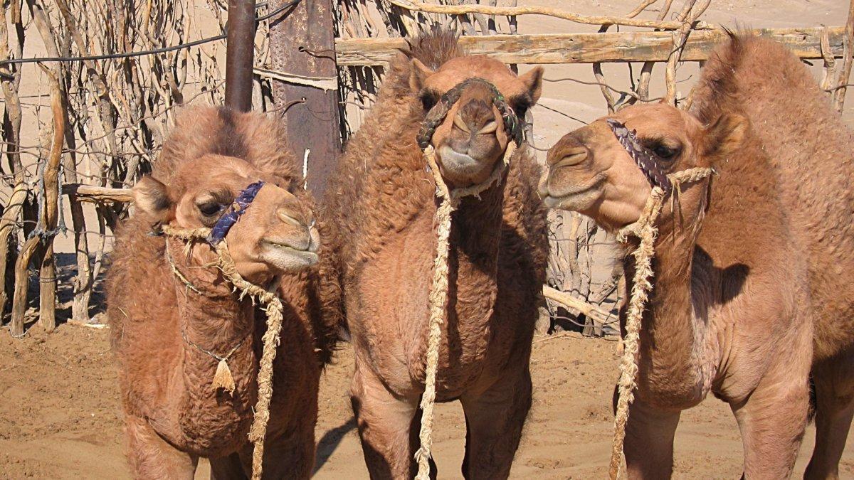 turkmenische Kamel